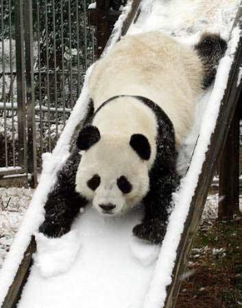 panda_slide.jpg