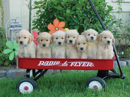 puppies-in-a-wagon